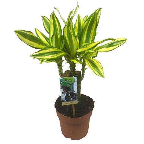 Pflanzen Kölle Drachenbaum, Dracaena Diamond Dream, Topf 17 cm, Höhe 65 cm