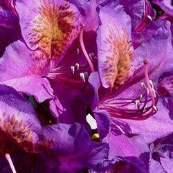 rhododendron-hardy-hybrid-marcel-menard-19cm-pot-size