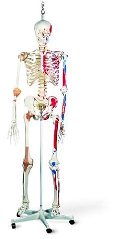 3B Scientific Squelette de luxe sur