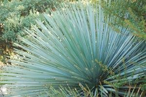 Our Lord's Candle Seeds (Yucca whipplei) 5+ Rare Seeds + FREE Bonus 6 Variety Seed Pack - a $29.95 Value! Packed in FROZEN SEED CAPSULES for Growing Seeds Now or Saving Seeds For Years