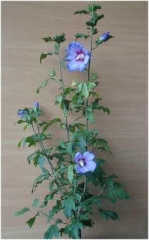 Hibiscus blau blühend Hibscus Blue Bird 60 cm hoch im 3 Liter Pflanzcontainer