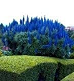 10 Samen Stolz von Madeira, Madeira-Natternkopf (Echium candicans) Blauer Natternkopf Samen (Echium Blue Pride of Madeira) -