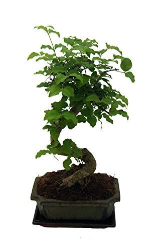 Liguster Bonsai ca. 7Jahre alt in einer Bonsaischale inkl Untersetzer (15cm)