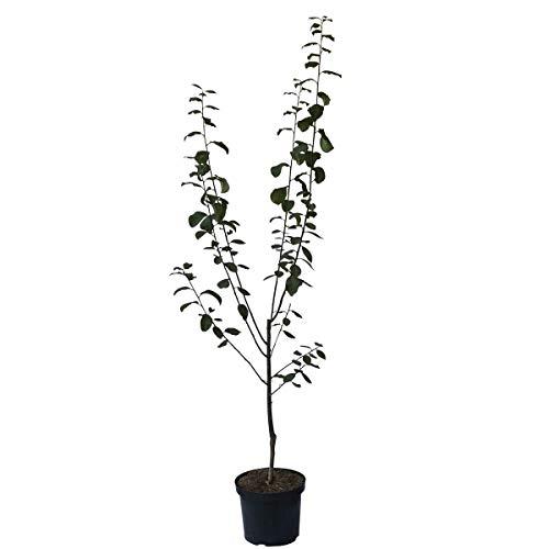 Müllers Grüner Garten Shop Königin Viktoria goldgelbe Pflaume einjähriger Buschbaum 100-120 cm 7,5 Liter Topf St. Julien A