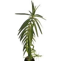 Tártago 10cm Planta Natural Euphorbia Lathyris Hierba Topera