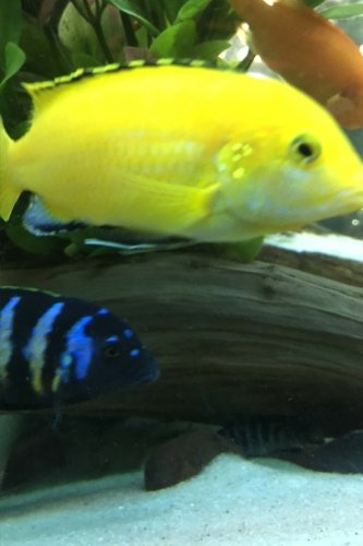 brilliant-yellow-labidochromis-caeruleus-african-cichlid-in-the-tank-blank-150-page-lined-journal-fo