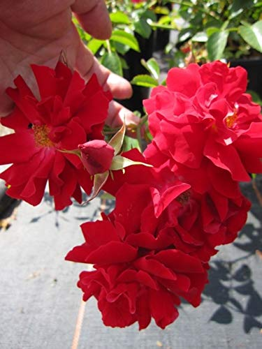 Bodendeckerrose Mainaufeuer® - Rosa Mainaufeuer® - Kleinstrauchrose - feuerrot - Kordes-Rose - Preis nach Stückzahl 2 Stück