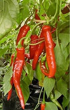 Shop Meeko Nur Seed - Gemüse - Chili/Paprika-Pfeffer - Red Hot Odessa - 10 Samen Ungewöhnliche