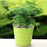 tables de bureau en pot d'asperges de Graines Graines Bonsai Bambou Arbre jardin décoration 30 particules / sac T021