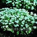 Vergissmeinnicht (Myosotis Snowsylva), 100Samen von Nuts n' Cones auf Du und dein Garten