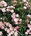 BALDUR-Garten Rosen 'The Fairy', 1 Pflanze Bodendeckerrose von Baldur-Garten bei Du und dein Garten