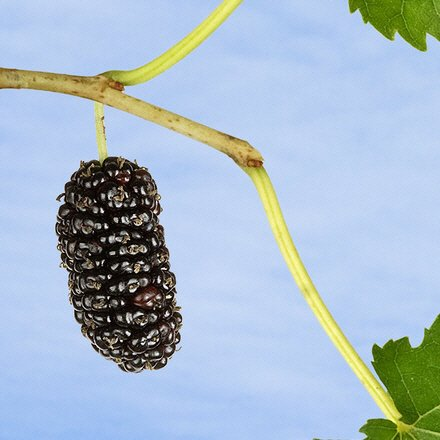Maulbeere schwarz - Morus nigra - Samen