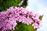Chinesischer Judasbaum Tolle Blüten 5 Samen