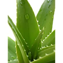 Echte Aloe Vera 5 Samen
