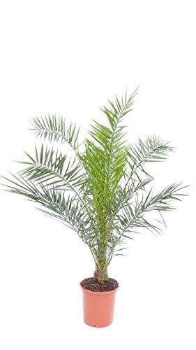 Palme 140-160 cm, XL Phoenix canariensis, kanarische Dattelpalme, winterhart
