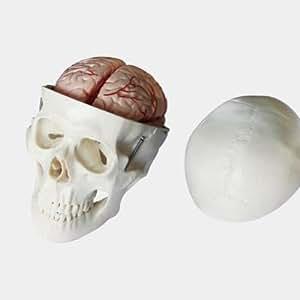Schädel Modell mit Gehirn - Anatomie Skelett Modell