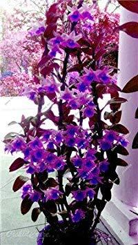 Fash Lady Zwerg Dendrobium Blume seltene Orchidee Samen Tropische Zierpflanzen Miniatur Baum natürliches Wachstum, 10 Stück 12