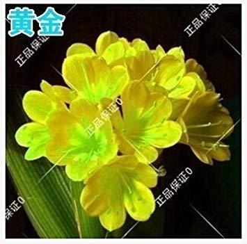 graines rares Clivia extérieur vivaces Bonsai Balcon fleurs en pot pour plantes ornementales Jardin Décor Facile à cultiver 100 pcs / sac 11