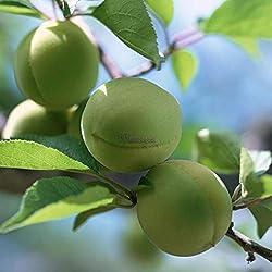 AGROBITS 10P Pflaumenbaum-Samen Obst Chinese Prunus Blüte Mume Winterblüte Startseite wt88 01