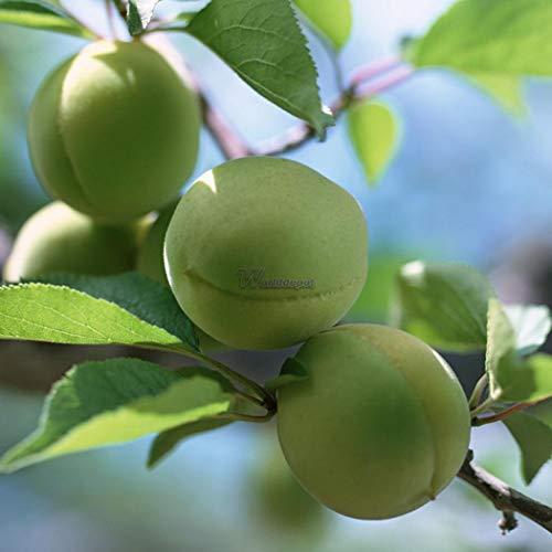 AGROBITS 10P Pflaumenbaum-Samen Obst Chinese Prunus Blüte Mume Winterblüte Startseite wt88