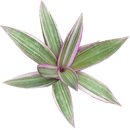 PLAT FIRM GERMINATIONSAMEN: Rhoeo Discolor Tricolor Tradescantia spathacea (4 inch pot)