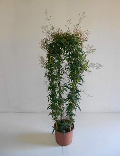 Zimmer-Jasmin 100-120 cm Jasminum polyanthum Duft-Jasmin