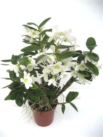 Mühlan Orchideen 2146