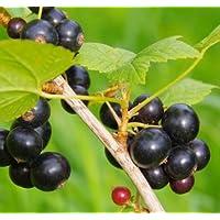 Johannisbeerhochstamm Ojebyn 5 Liter Topf schwarze Johannisbeere 90 cm Stamm