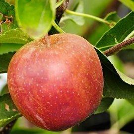 Apfelbaum Santana Allergikerapfel M26 von VDG Obst bei Du und dein Garten