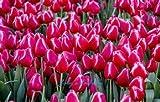 SwansGreen 5: 100 Stück Tulpe sät, Tulpe agesneriana, aromatische Blumensamen Topfpflanzen Schönsten Bunte Tulip Pflanzen Staudengarten 5