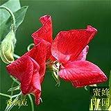 VISTARIC 50pcs Red Maple Samen Seltene Baum Bonsai Samen Japanischer Ahorn Acer palmatum Atropurpureum Baum frische Samen Für Hausgarten