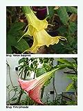 Portal Cool Seeds Brugmansia. Zaffiro giallo X Rosa Limeade, 8 semi. affrancatura combinata