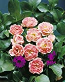 Bodend.Rose 'Limestraum' -R- im 4 L Container