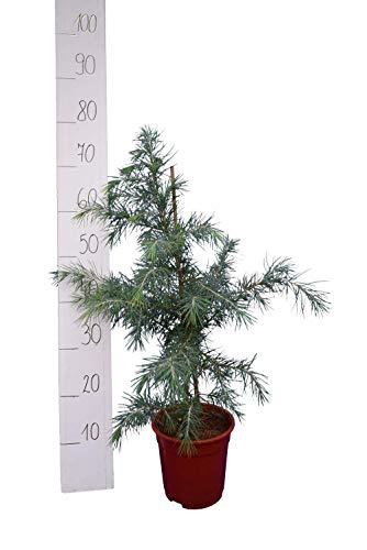 Himalaja Zeder Cedrus deodara Nadelbaum - verschiedene Größen (60-80cm - Topf Ø 17cm)