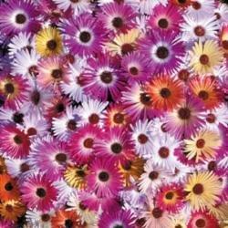 Galleria fotografica Fiore - Kings Seeds - Confezione Multicolore - Mesembriantemo - Kings Sunshine Mix