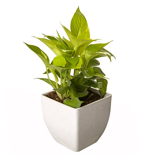 Exotic Green Indoor Oxygen & Air Purifier Plant Golden Pothose...