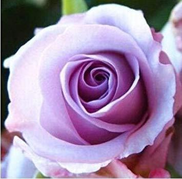 jardinières Pots de fleurs, 20 sortes de 100 graines, Rainbow Rose graines belle rose graines bonsaïs graines pour la maison et le jardin 12