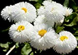 Bloomgreen Co. Bloom Green Co. BELLIS PERENSIS DAISY WHITE SEEDS (AVG 50-100) SEEDS X 8 PAKET