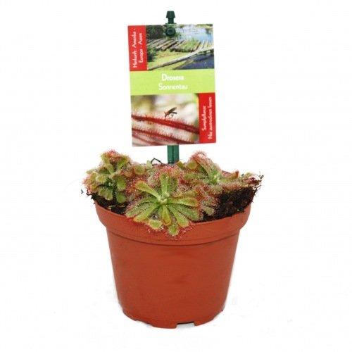 *Sonnentau – Drosera alicae – 9cm Topf*