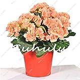 Fash Lady 100 Stücke Bonsai Begonie Samen Hybrid Voss Laternen Blumen Begonie Malus Spectabilis Chinesische Dekorative Bonsai Garten Blumen 8