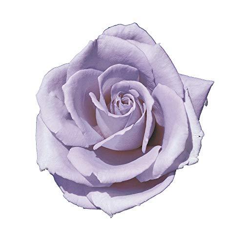 Blue Monday, rosaio vivo di Rose Barni, rosa in vaso molto profumata linea prestigio, pianta di rosa slanciata, rifiorente e robusta cod.71050