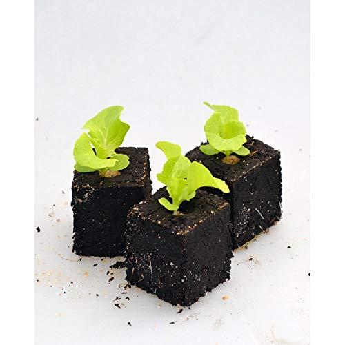 Gemüsepflanzen - Eichblattsalat/Piro - Lactuca sativa var. acephala - Asteraceae - 12 Pflanzen