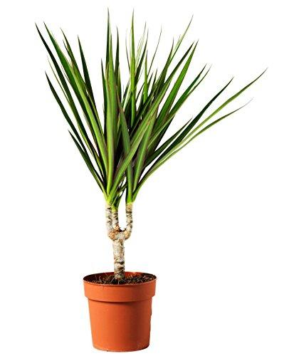 Dragon Tree (1 stem) - Grown by ...