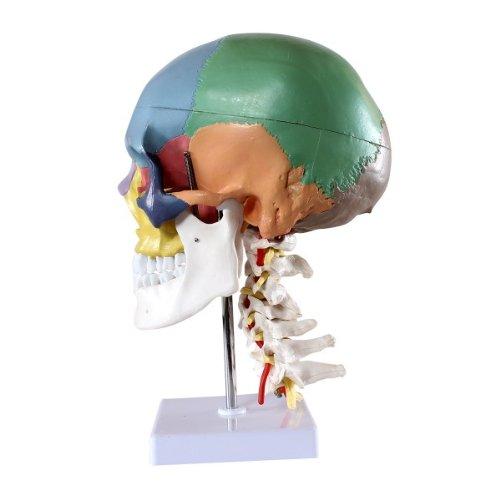 Zoom IMG-2 s24 2301 cranio modello didattico