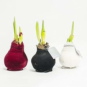 amaryllis xxl gewachst samt wei zimmerpflanzen. Black Bedroom Furniture Sets. Home Design Ideas