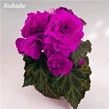 Nouveau! 150 Pcs Begonia Graines Bonsai Graines de fleurs Bonsai Maison & Jardin Flor Plantes en pot Purifier l'Office Air Bureau Fleurs 2