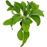 Digitalis Dedalera Purpurea 10cm Planta Natural en Maceta Pequeña