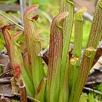 Sarracenia rubra (pianta carnivora) - 20 semi