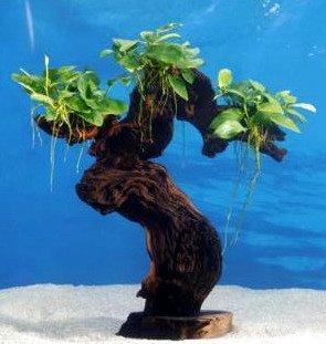 Dennerle Art Tropische