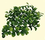 Lucky Reptile TP-44 Turtle Plant Bacopa